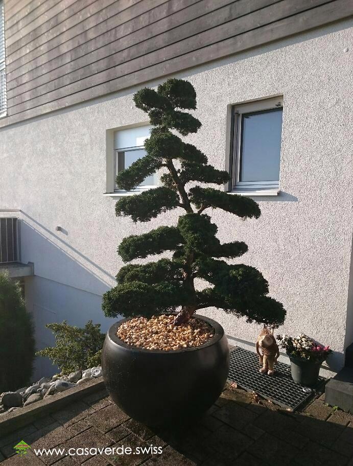 Solit Rgeh Lze best garten bonsai kaufen contemporary kosherelsalvador com kosherelsalvador com